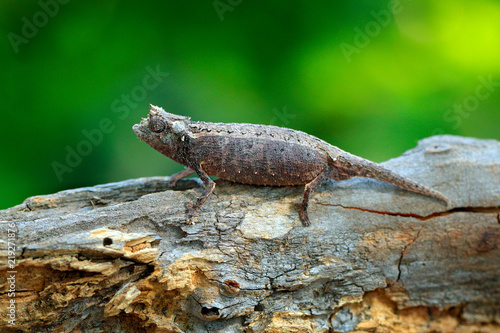 Brookesia thieli,  Chameleon sitting on the branch in forest habitat. Exotic beautifull endemic green reptile with long tail from Madagascar. Wildlife scene from nature.
