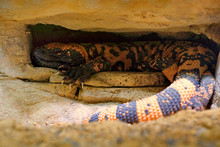 Gila Monster, Heloderma Suspec...
