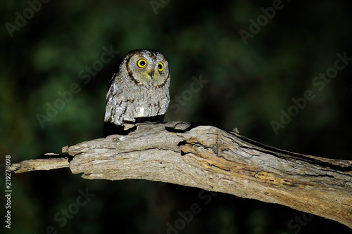 African scops owl, Otus senegalensis, bird in the nature habitat in Botswana. Owl in night forest.  Animal sitting on the tree branch during dark night. Wildlife scene from Africa.