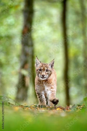 Naklejka premium Młody ryś w zielonym lesie. Scena dzikiej przyrody z natury. Spacerujący ryś euroazjatycki, zachowanie zwierząt w środowisku. Młode dzikiego kota z Niemiec. Dziki Bobcat między drzewami.