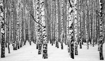 FototapetaWinter snowy birches black and white