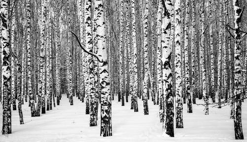 Winter snowy birches black and white