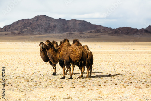 Camels in the steppes of Mongolia.