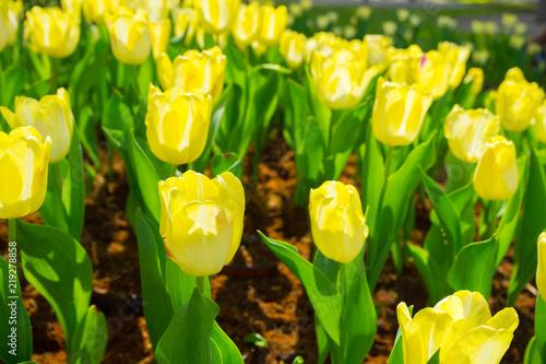 Poster Jaune Rows of yellow tulips