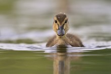 A Cute Mallard Duckling (Anas Platyrhynchos) Swimming In Water, With Reflection. Wildlife Scene From Nature. Little Watter Bird In The Nature Habitat.