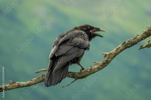 Dark raven perched on a branch Fototapete