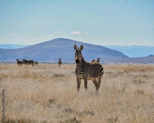 Wall Murals Africa Cape Mountain Zebra
