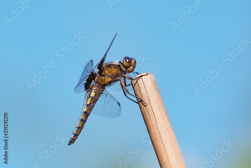 Fotografie, Obraz  Broad bodied chaser or darter male seen from the side sitting at the tip of a cu