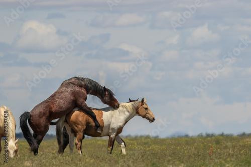 Fotografie, Obraz  Wild Horses Mating in the Utah Desert