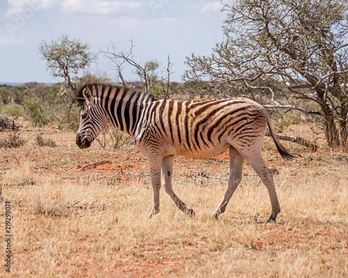 Deurstickers Ezel Burchell's Zebra
