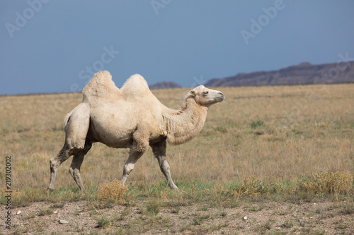 Fotobehang Kameel Two-humped Camel, Bactrian in nature, Kazakhstan