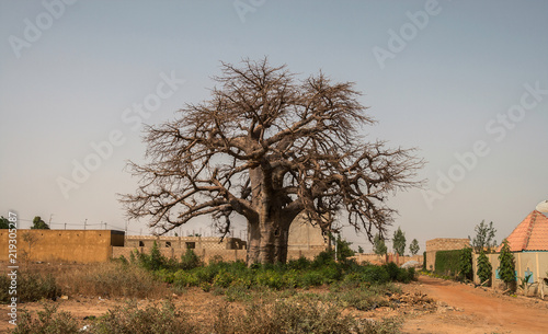 In de dag Baobab Leafless baobab tree, Adansonia digitata, in the suburb of Ouagadougou, Burkina Faso