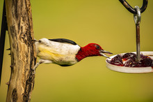 RED-HEADED WOODPECKER EATING G...