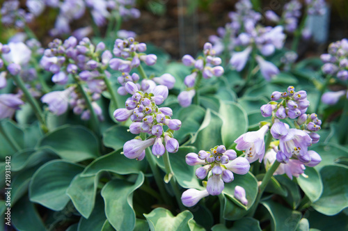 Valokuva Hosta blue mouse ears green plant with violet flowers