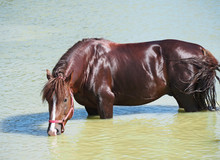 The Chestnut Stallion Of Draft Breed Drinks Water From The Lake During Bathing