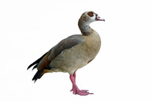 Isolated Egyptian Duck On Whit...