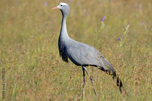 An endangered blue crane (Anthropoides paradisea) walking in grassland, South Africa Canvas Print