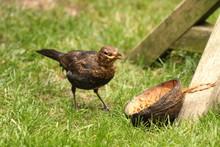 Blackbird Garden Bird