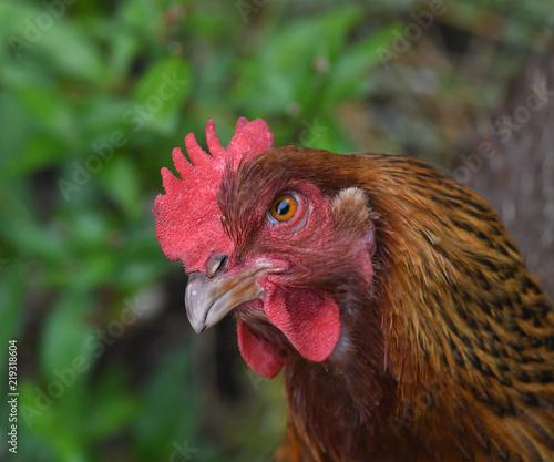 Keuken foto achterwand Kip Inquisitive Chicken