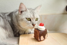 Cat Looking Chocolate Cake In Cat Cafe.