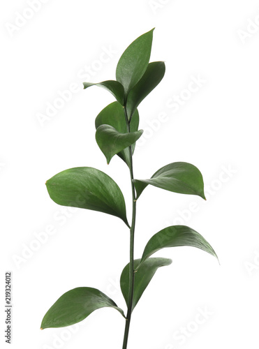 In de dag Planten Ruscus branch with fresh green leaves on white background