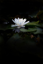 Water Flower White Water Lily ...
