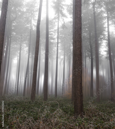 Poster Forest Fog in a forest in the winter