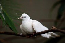 White Dove Perched On A Branch