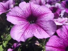Light And Dark Purple Petunias