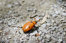 Spotted Grapevine Beetl