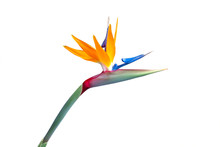 Bird Of Paradise Flower Closeup Isolated On A White Background Vibrant Red Green Yellow Blue Orange And Red Colors