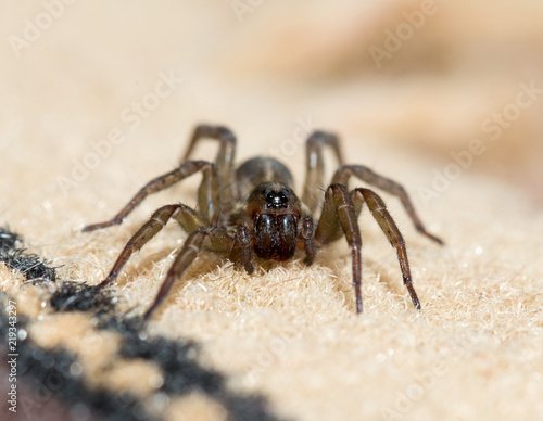 Spider in the house on the carpet Canvas Print