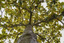 Trunk And Branches Of A Tree M...