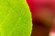 High resolution green leaf of a rose bush