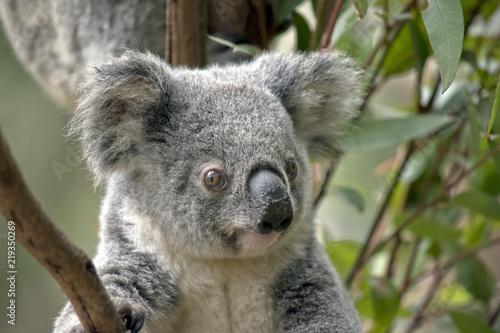 Garden Poster Koala joey koala