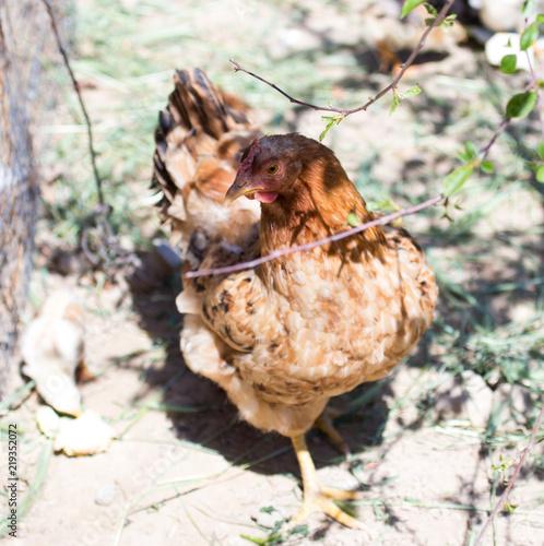 Keuken foto achterwand Kip chicken with cub in the cage