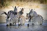 Fototapeta Sawanna - Herd of wild zebra drinking at water hole