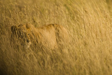Wild African Lioness Hunting In Tall Grass