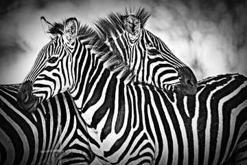 FototapetaTwo wild zebra resting together in Africa