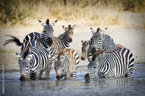Herd of wild zebra drinking at water hole Canvas Print