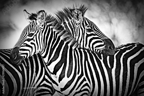 Two wild zebra resting  together in Africa - 219361837