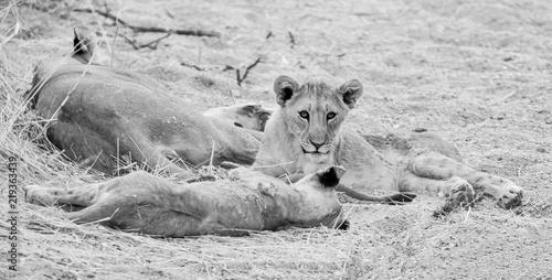 Fotobehang Leeuw Lion Cubs