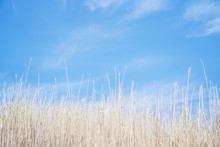 Copy Space Of White Grass With Blue Summer Sky Background.vintage Color Tone Cocept.