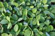 Green soy plants