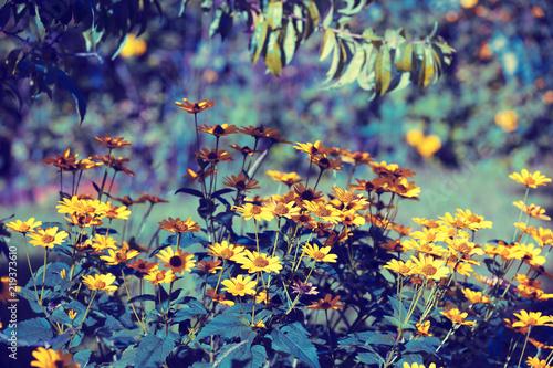 Valokuva  Flowering Black-eyed Susan flowers in the garden