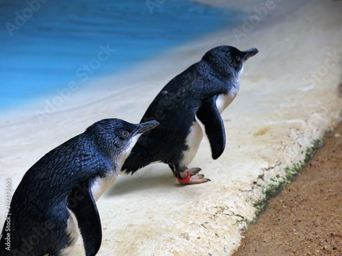 blue pinguin, australia