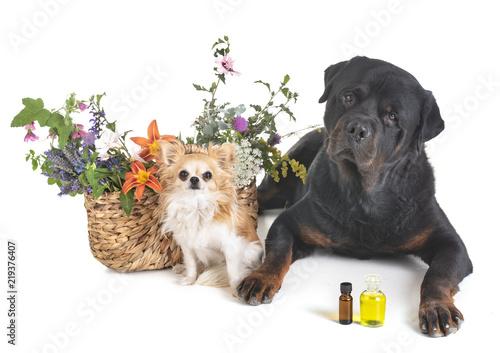Fototapeta dogs and flowers obraz