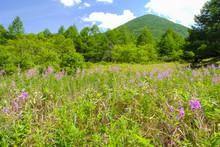 ヤナギラン咲く高原
