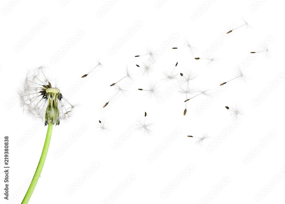 Fototapety, obrazy: Dandelion blowball