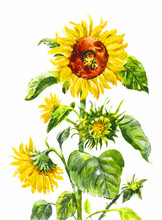Watercolor Sunflower. Vintage Hand-drawn Illustration Isolated On White